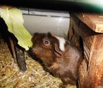 wohnanlage-meerschweinchen-im-pflegeheim-herbstrose